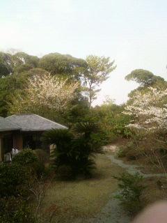 山桜が見頃です