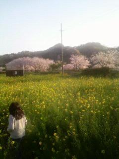 菜の花畑、まだ咲き続けています
