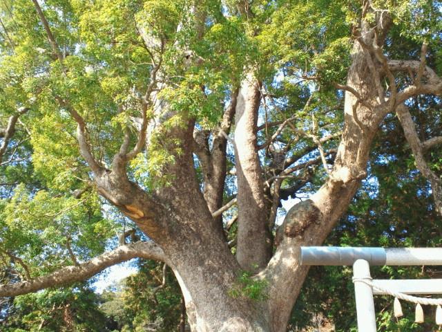 大きな楠木の下で