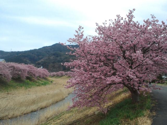 花曇りの中の満開の桜